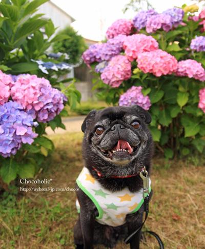 紫陽花とチョコ