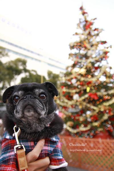 クリスマスツリーとパグ