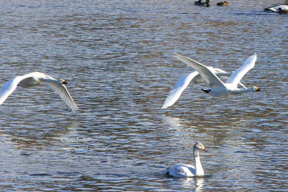 犀川 白鳥