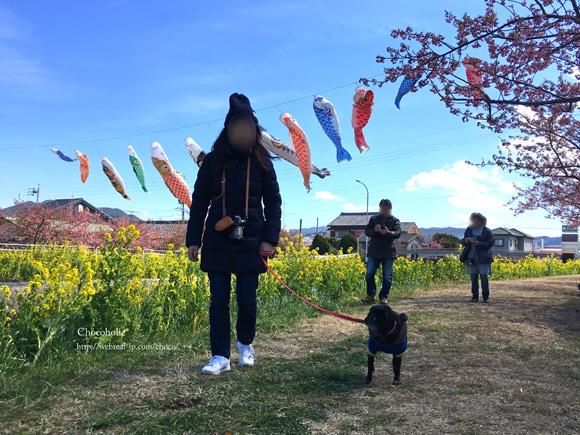 免々田川菜の花桜まつり
