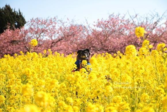 河津桜と菜の花とチョコ