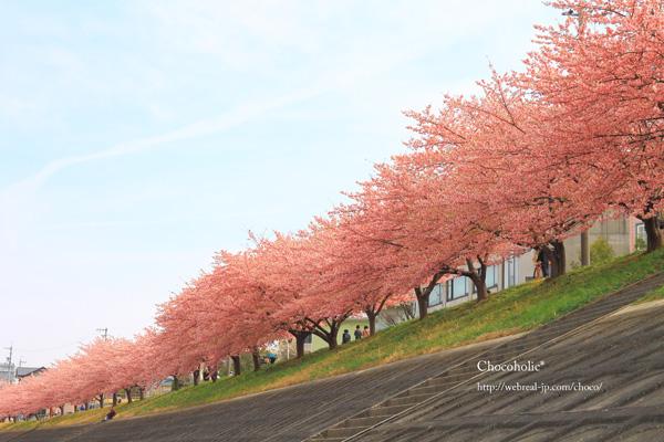 岡崎 乙川 河津桜