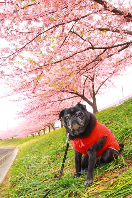 河津桜とチョコ