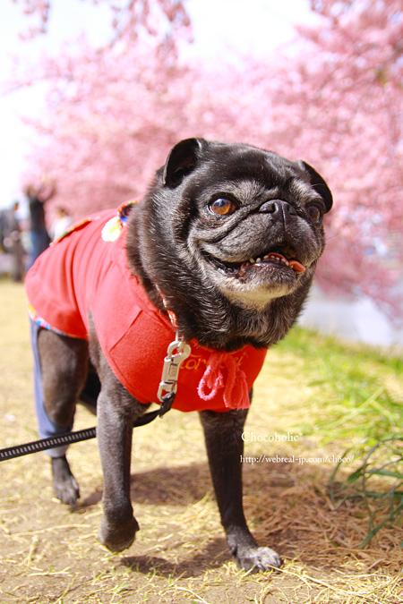 河津桜 お花見