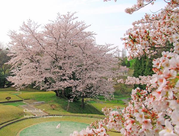 桜 満開 公園