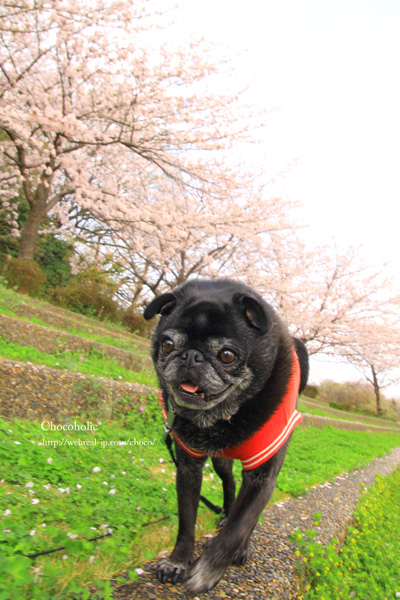 桜 パグ お散歩