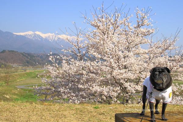 桜 パグ 中央アルプス