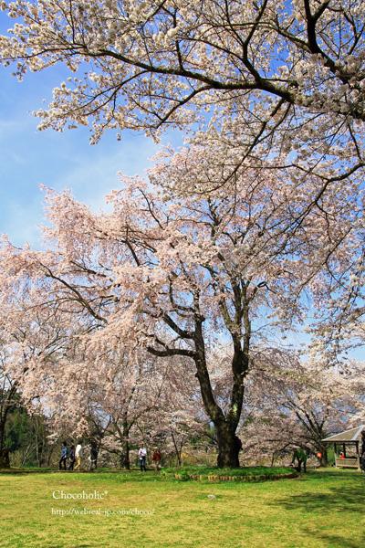 大草城址公園 しだれ桜