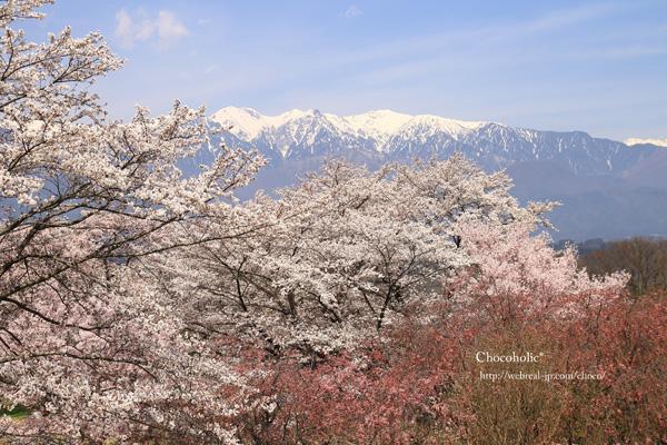 大草城址公園 桜