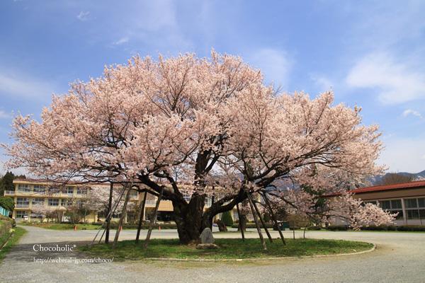 中川西小学校 百年桜