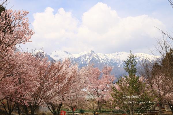 松川町 桜とアルプス