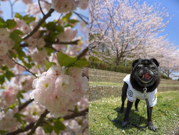 八重桜ソメイヨシノ