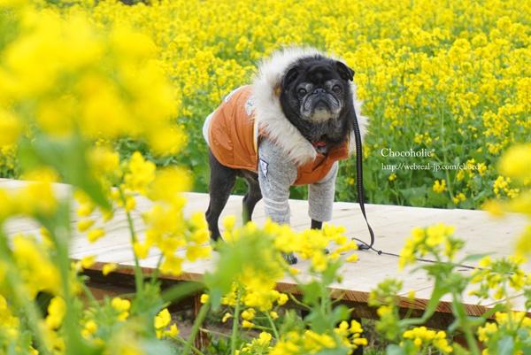 南伊豆町 菜の花畑