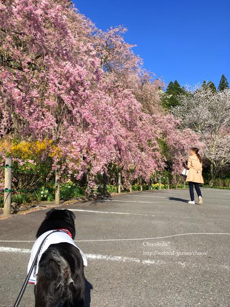 光前寺 桜