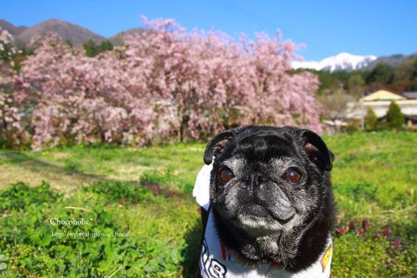 光前寺 八重桜