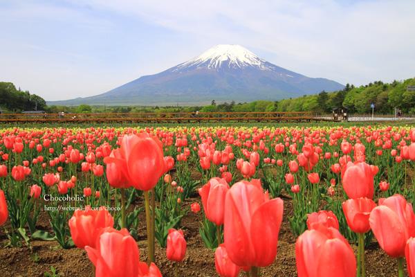 山中湖 花の都公園 チューリップ