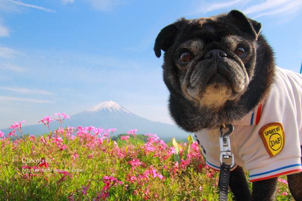 富士山と芝桜 チョコ