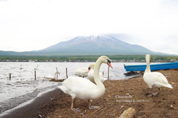 白鳥 富士山 山中湖