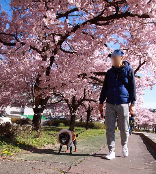 勝間のしだれ桜を見に