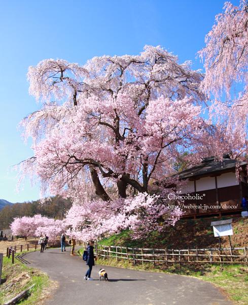 勝間の枝垂れ桜
