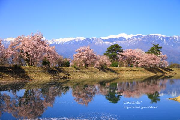 六道の堤 桜