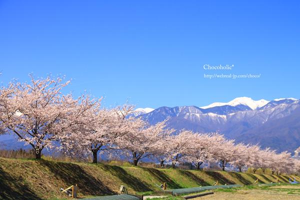 三峰川レストパーク 桜