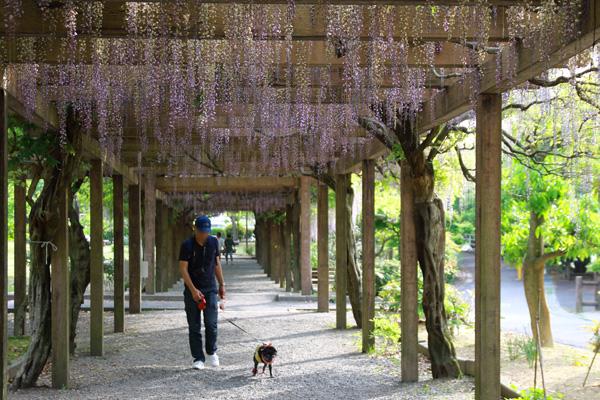 大三島 藤公園