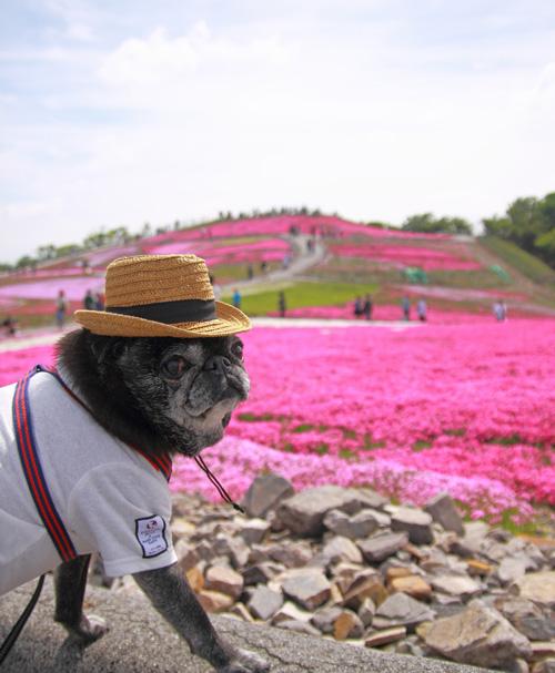 茶臼山高原 芝桜 チョコ