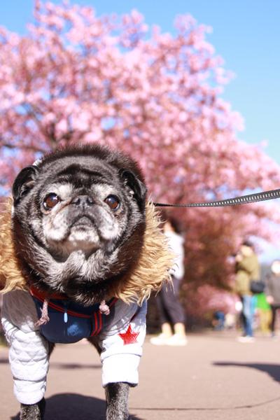 河津桜 ペット連れ 桜並木