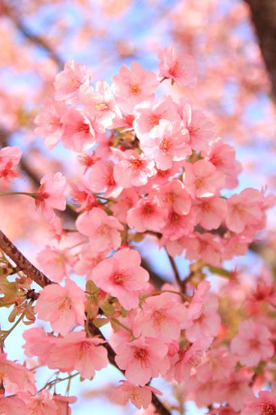 河津桜 ピンク
