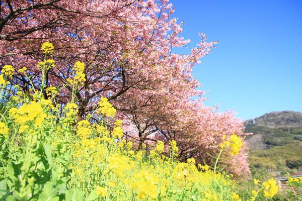 河津町 河津桜 菜の花 見ごろ