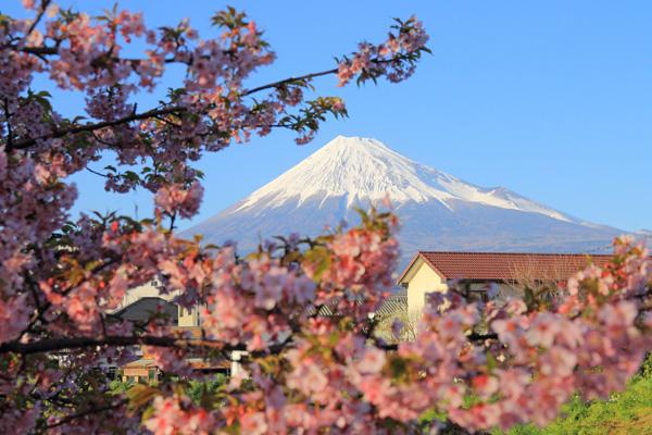 河津桜 富士山 コラボ